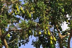 Árvore de abacate fotografia de stock