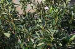Árvore de abacate, abacates maduros na árvore, esta planta crescida em tropical fotos de stock royalty free