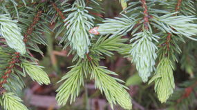 Árvore de abeto Imagens de Stock