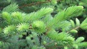 Árvore de abeto Fotografia de Stock
