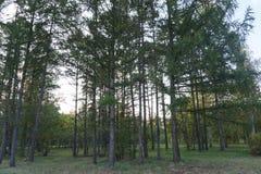 Árvore de abeto Imagens de Stock Royalty Free
