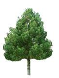 Árvore de abeto imagem de stock royalty free