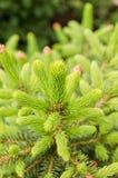 Árvore de abeto Foto de Stock Royalty Free