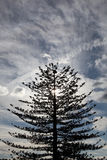 Árvore de abeto alta Fotografia de Stock Royalty Free