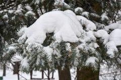 Árvore de abeto coberta com a neve Fotos de Stock