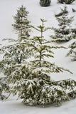 Árvore de abeto coberta com a neve Fotografia de Stock