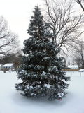 Árvore de abeto de Douglas com neve em ramos Foto de Stock Royalty Free