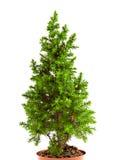Árvore de abeto de Smal Fotografia de Stock Royalty Free
