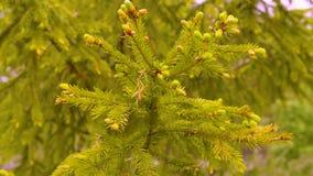Árvore de abeto dos ramos do verde no fim da floresta do verão acima Árvore Spruce na floresta das coníferas filme