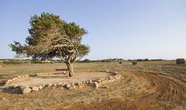 Árvore de abeto em um campo de trigo tarde no verão Fotografia de Stock