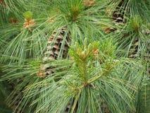 Árvore de abeto espessa Fotos de Stock
