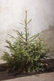 Árvore de abeto para o Natal ao ar livre Imagem de Stock