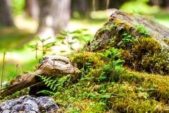 Árvore de abeto pequena que cresce na natureza Foto de Stock Royalty Free