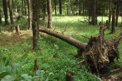 Árvore de abeto quebrada na floresta Imagem de Stock Royalty Free