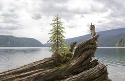 Árvore de abeto só no driftwood fotografia de stock
