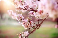 Árvore de abricó da flor na mola Imagens de Stock Royalty Free