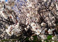 Árvore de abricó de florescência fotos de stock