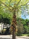 Árvore de abricó do guianensis de Couroupita dos macacos fotos de stock royalty free
