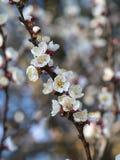 Árvore de abricó na flor Fotografia de Stock Royalty Free