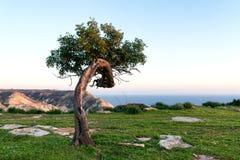 Árvore de alfarroba sozinha no monte fotos de stock royalty free