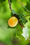 Árvore de alperce Foto de Stock
