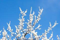 Árvore de alperce fotografia de stock
