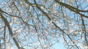 Árvore de alperce de florescência filme