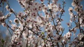 Árvore de alperce de florescência video estoque