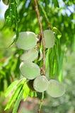 Árvore de amêndoa Imagem de Stock Royalty Free