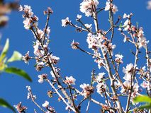 Árvore de amêndoa 3 Imagens de Stock