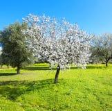 Árvore de amêndoa Foto de Stock Royalty Free