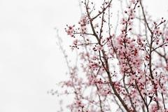Árvore de amêndoa imagens de stock royalty free