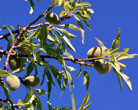 Árvore de amêndoa Fotografia de Stock Royalty Free