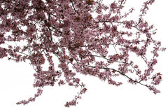 Árvore de amêndoa Foto de Stock