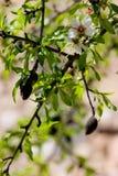 Árvore de amêndoa Fotografia de Stock