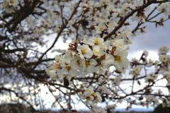 Árvore de amêndoa agradável foto de stock