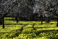 Árvore de amêndoa II foto de stock