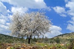 Árvore de amêndoa na flor fotos de stock royalty free