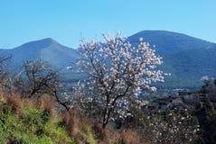 Árvore de amêndoa na flor, a Andaluzia, Spain. Fotos de Stock Royalty Free