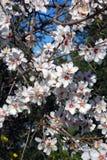 Árvore de amêndoa na flor, a Andaluzia, Spain. Fotografia de Stock