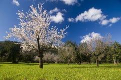 Árvore de amêndoa no campo Fotografia de Stock