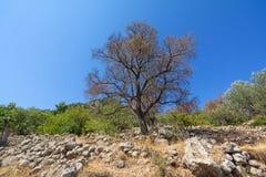 Árvore de amêndoa velha fotos de stock