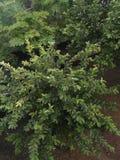 Árvore de Amarud do indiano Fotografia de Stock