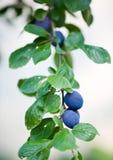 Árvore de ameixa Imagem de Stock Royalty Free