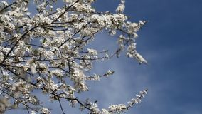 Árvore de ameixa. video estoque