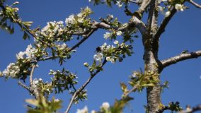Árvore de ameixa. vídeos de arquivo
