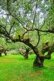 Árvore de ameixa Imagens de Stock