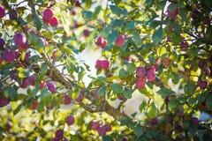 Árvore de ameixa com ameixas Imagem de Stock