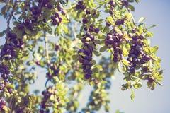 Árvore de ameixa com ameixas Fotos de Stock