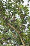 Árvore de ameixa com fruta Fotografia de Stock Royalty Free